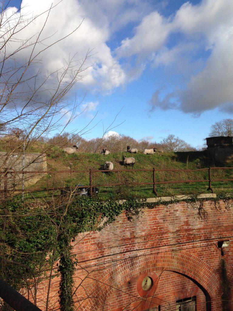 Sheep at Fort Rowner