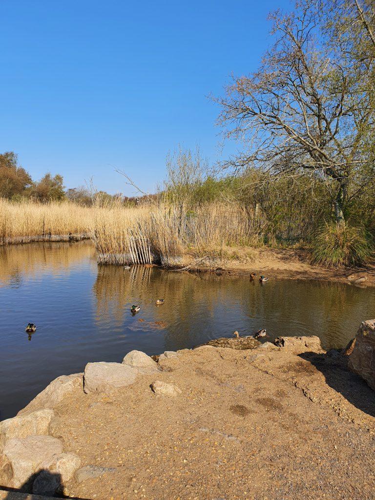 Ducks in the Alver Valley pond